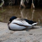 毎年恒例戦場ヶ原散歩のついでに150-600で野鳥を撮ってみた
